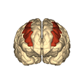 Cerebrum - middle frontal gyrus - anteriior view.png