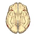 Cerebrum - superior temporal gyrus - inferior.png