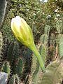 Cereus hexagonus Flower 02.jpg