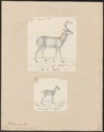 Cervus virginianus - 1700-1880 - Print - Iconographia Zoologica - Special Collections University of Amsterdam - UBA01 IZ21500031.tif