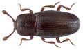 Cerylon histeroides (Fabricius, 1792).png
