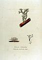 Cetraria aculeata — Flora Batava — Volume v12.jpg