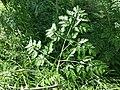 Chaerophyllum bulbosum sl17.jpg