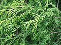 Chamaecyparis pisifera cv Filifera Aurea1.jpg