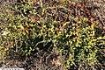 Chamaedaphne calyculata Verdant 2zz.jpg