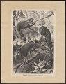 Chamaeleo vulgaris - 1700-1880 - Print - Iconographia Zoologica - Special Collections University of Amsterdam - UBA01 IZ12300013.tif