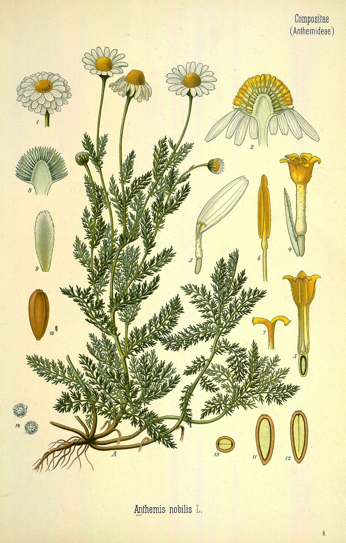 chamaemelum nobile - wikipedia