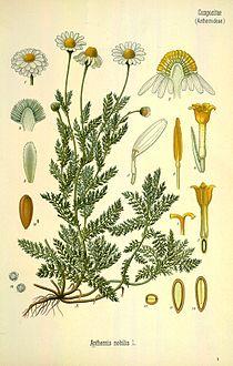 Chamaemelum nobile.jpg