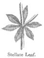 Chambers 1908 Stellate Leaf.png