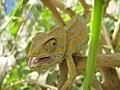Chameleon. Tripolitania.jpg
