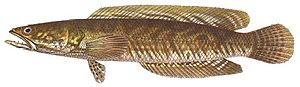 Channa striata - Channa striata, after Bleeker, 1879