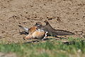 Charadrius vociferus -Lisle, Illinois, USA -protecting nest-8.jpg