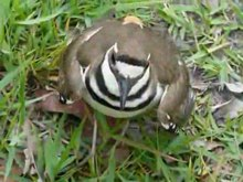 Fitxategi:Charadrius vociferus -distraction display to protect nest-8.ogv