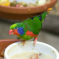 Charmosyna placentis -aviary -male-8a-4c.jpg