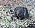 Chat domestique à la robe tabby ( Felis silvestris catus).jpg