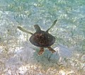 Chelonia mydas (green sea turtle) (San Salvador Island, Bahamas) 8 (15996425768).jpg