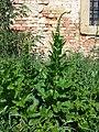 Chenopodium bonus-henricus sl11.jpg