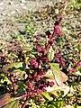 Chenopodium chenopodioides sl5.jpg