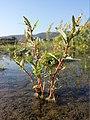 Chenopodium glaucum sl40.jpg