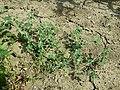 Chenopodium vulvaria sl140.jpg