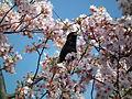Cherry Blossom DC 2014 (14097795802).jpg