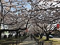 Cherry blossoms near Zasshonokuma Station 20190401-3.jpg