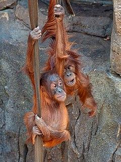 Karta (orangutan) Sumatran orangutan (1982–2017)