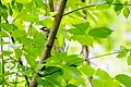 Chestnut-sided warbler (33935159163).jpg