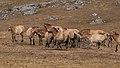 Chevaux de Przewalski (Equus przewalskii) en semi-liberté sur le Causse Méjean, Lozère, France (50198797628).jpg