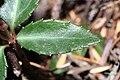 Chimaphila umbellata 9667.JPG
