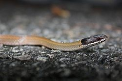 Chinese Mountain Snake (Sibynophis chinensis) 黑頭劍蛇4.jpg