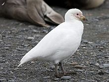 Chionis blanc - Pale-faced Sheathbill.jpg