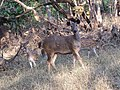 Chital and sambar in Gir AJTJ IMG 4874.jpg