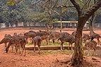 Chitra Deers at Bangladesh National Zoo (Axis axis),(2).jpg