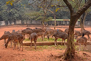 Chitra Deers at Bangladesh National Zoo (Axis axis),(2).jpg