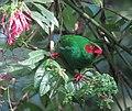 Chlorornis riefferii Clorornis patirrojo Grass-green Tanager (14380298413).jpg