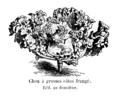 Chou à grosses côtes frangé Vilmorin-Andrieux 1904.png