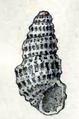 Chrysallida excavata 001.png