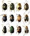 Chrysomelidae (10.3897-zookeys.825.30455) Figure 5.jpg