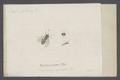 Chrysotoxum - Print - Iconographia Zoologica - Special Collections University of Amsterdam - UBAINV0274 039 02 0049.tif
