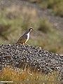 Chukar Partridge (Alectoris chukar) (31906752560).jpg