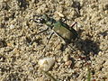Cicindela hybrida (Tigerbeetle) side, Arnhem, the Netherlands.jpg