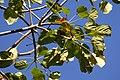 Cieba bruja - Bonga (Cavanillesia platanifolia) (15312264200).jpg