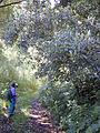 Cinchona-calisaya01.jpg