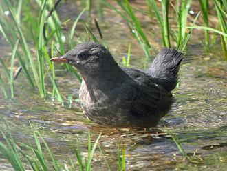 American dipper - Juvenile in Nason Creek, Washington, USA