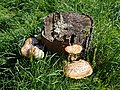 City of London Cemetery - tree stump fungus.jpg