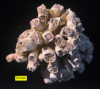 Cnidaria - The fossil coral Cladocora from Pliocene rocks in Cyprus