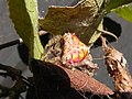 Cladomelea debeeri Bolas spider on dried Dombeya leaf.jpg