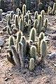 Cleistocactus Cactus.JPG