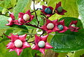 Clerodendrum trichotomum, Vancouver.jpg